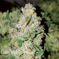Auto Blueberry feminised Carpathians Seeds