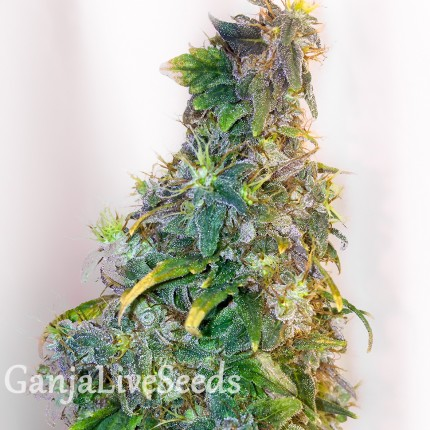 Mazar feminised GanjaLiveSeeds