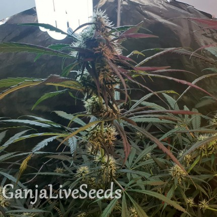 Amnesia feminised Ganja Seeds