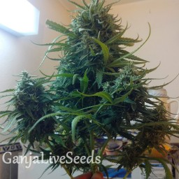 Moby Dick feminised Ganja Live Seeds
