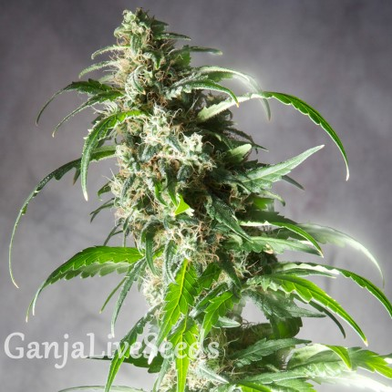 Jack Herer CBD feminised GanjaLiveSeeds