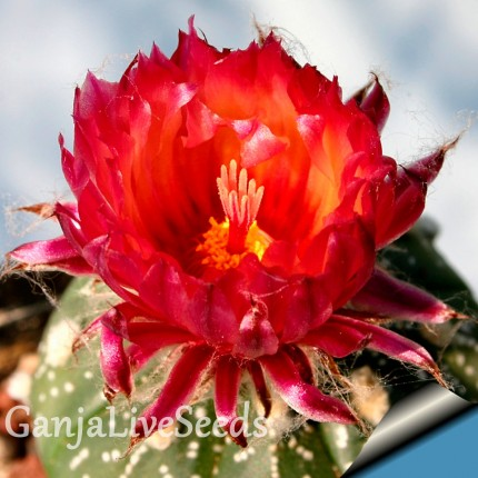 Astrophytum asterias red flowers