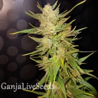 Nefertiti feminised GanjaLiveSeeds