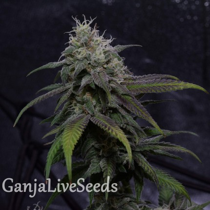 Auto Original Blueberry feminised Victory Seeds
