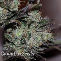 Early Durban feminised Ganja Seeds