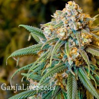 New York City feminised Ganja Live Seeds
