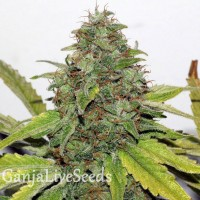New York Diesel feminised Ganja Live Seeds