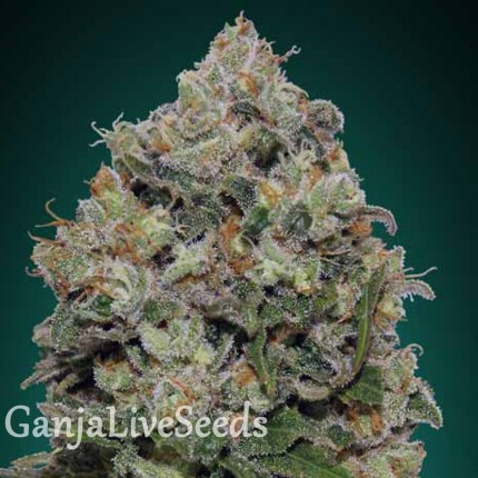 Northern Lights feminised Ganja Live Seeds
