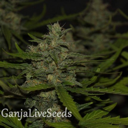 Auto Super Mazar feminised Victory Seeds