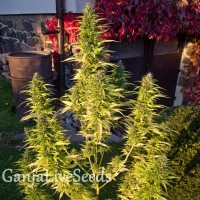 Orange Bud feminised GanjaLiveSeeds