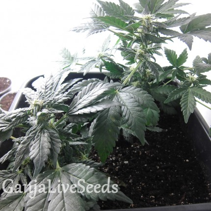 Auto Betty Boo feminised Ganja Seeds