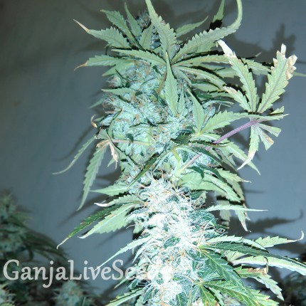 Russian Snow feminised GanjaLiveSeeds