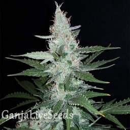Super Mazar feminised Ganja Live Seeds