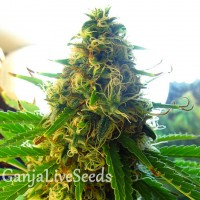 Auto Chere feminised Carpathians Seeds