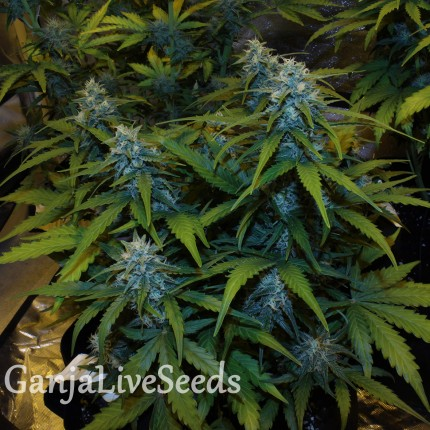 Auto White Widow feminised Victory Seeds