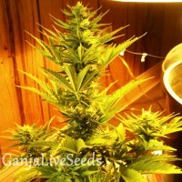 Auto Goverla feminised Carpathians Seeds