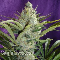 Black Widow feminised Ganja Seeds