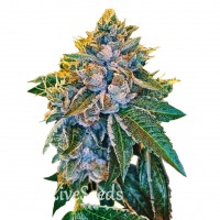 Auto Kush feminised Carpathians Seeds