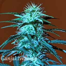 Auto Anesthesia regular Ganja Seeds