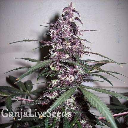 Auto Bloody Skunk feminised Ganja Seeds