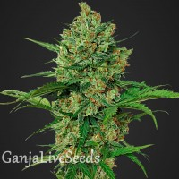 Auto Northern Blue feminised Carpathians Seeds