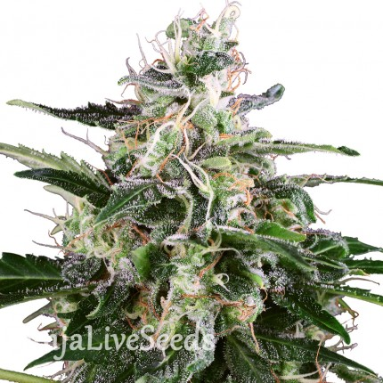 Snow White Amsterdam feminised Ganja Seeds