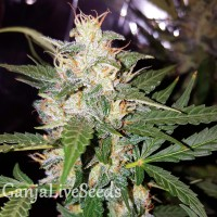 Big Bud feminised Victory Seeds