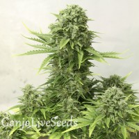 AK 49 feminised Ganja Seeds