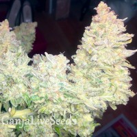Auto Blueberry x Blue Mystic feminised Ganja Seeds