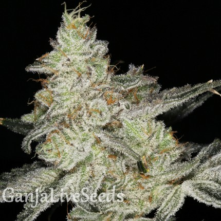 Snow Ryder feminised Ganja Seeds
