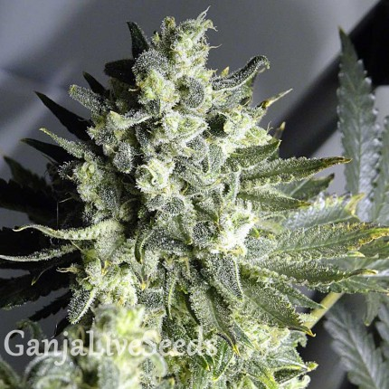 Auto Sinevir feminised Carpathians Seeds