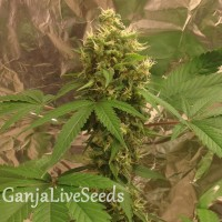 Blue Dream feminised Victory Seeds