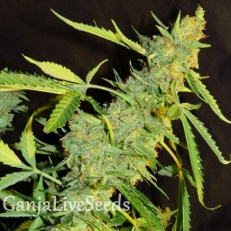 Auto White Tisa feminised Carpathians Seeds