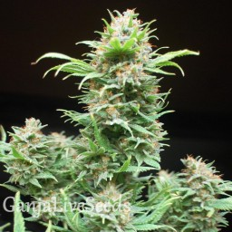 Wembley feminised Ganja Live Seeds