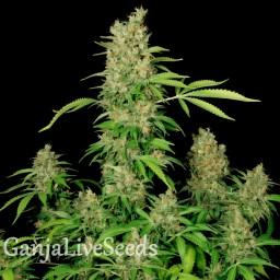 Chronic feminised Ganja Seeds