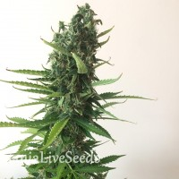 Auto White Widow feminised Carpathians Seeds
