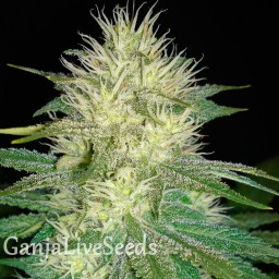 White Russian feminised Ganja Live Seeds