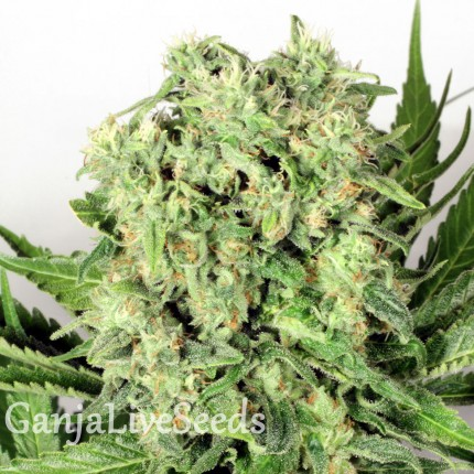 Cheese feminised Victory Seeds