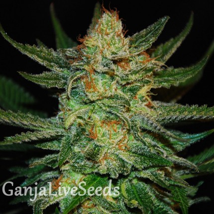 Grapefruit feminised Ganja Seeds