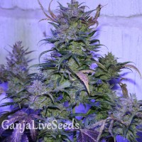 Auto AK 47 feminised Ganja Seeds