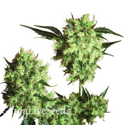 Marley's Collie feminised Ganja Seeds