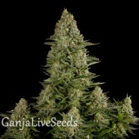 White Widow feminised GanjaLiveSeeds
