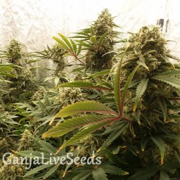 Chocolope feminised Victory Seeds