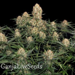 Original Skunk feminised Ganja Seeds