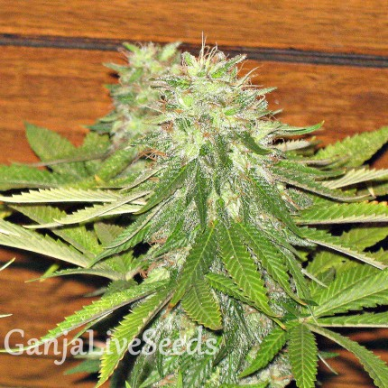Auto Dolche Cheese feminised Ganja Seeds