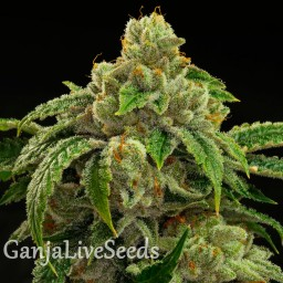 Sensi Star feminised Ganja Seeds
