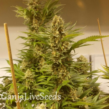 White Widow x Black Domina feminised Ganja Seeds