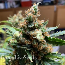 Critical feminised Victory Seeds