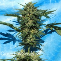 Auto White Russian feminised Ganja Seeds