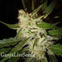 Super Stinky feminised Ganja Seeds